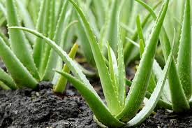 Aloe Vera – Why do we need it?